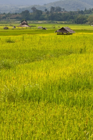 Green rice field, Thailand Stock Photo - 15559694