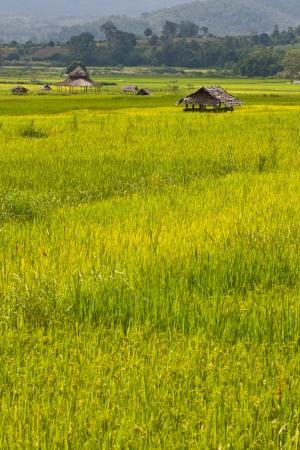 Green rice field, Thailand Stock Photo - 15559694
