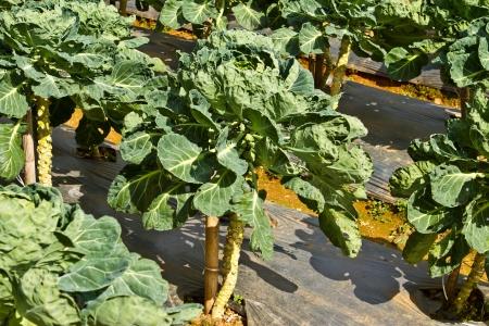 a kind of vegetable farm, Thailand Stock Photo - 15538418