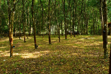 Rubber tree farmland, south of Thailand Stock Photo - 15569511