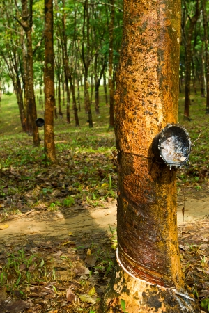 Rubber tree farmland, south of Thailand Stock Photo - 15569510