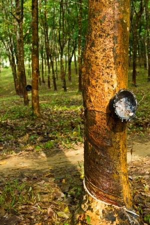 Rubber tree farmland, south of Thailand Stock Photo - 15569510