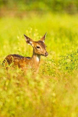 Young spoted deer among the bush
