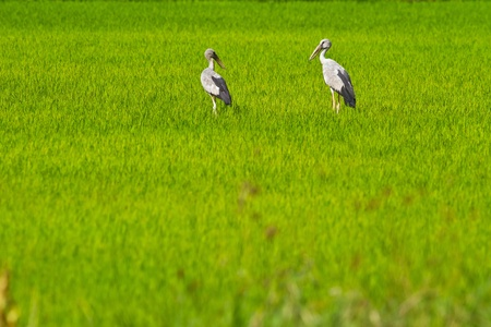 Bird on the rice field, open bill ibis photo