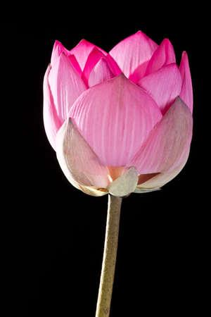 Pink lotus on black background