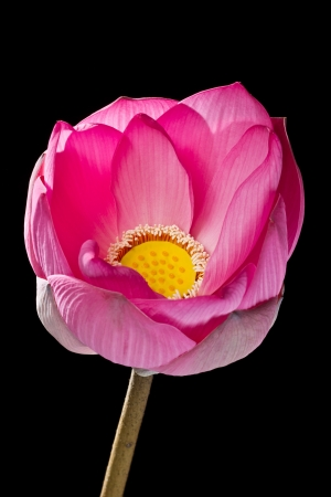 Pink lotus on black background photo