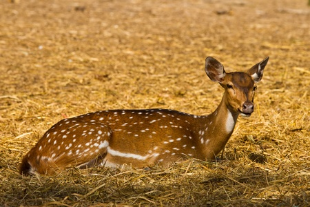 spoted: Spoted deer Stock Photo
