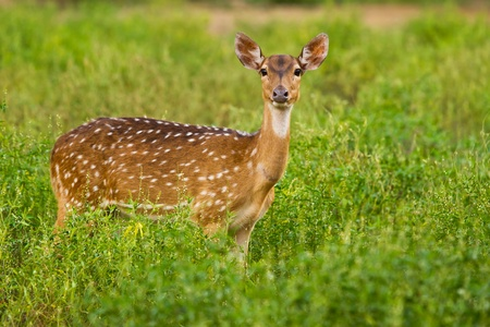 spoted: Stareing spoted deer Stock Photo