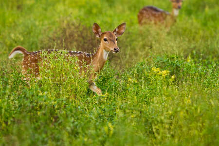 spoted: Spoted deers walkinging in the green field