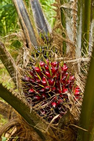 Palm tree fruit Stock Photo - 15756978