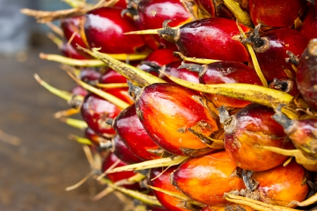 red palm oil: Palm fruit , tropical plant for bio diesel production Stock Photo
