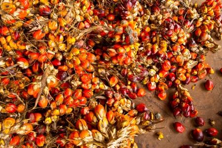 Palm fruit , tropical plant for bio diesel production Stock Photo - 15753973