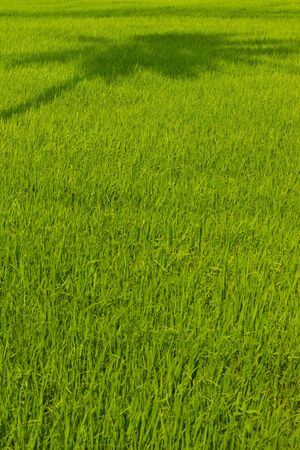 green rice field in Thailand Stock Photo - 15753954