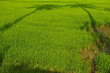 green rice field in Thailand Stock Photo - 15753995