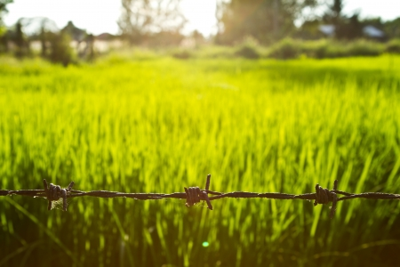 barb wire in front of sunset rice field Stock Photo