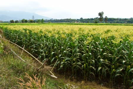 agriculture in countryside of Thailand Stock Photo