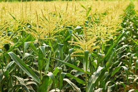 corn field: agriculture in countryside of Thailand Stock Photo