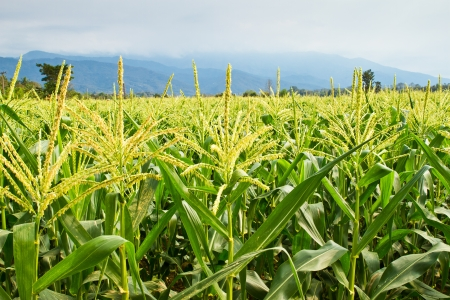 cultivated land: agriculture in countryside of Thailand Stock Photo