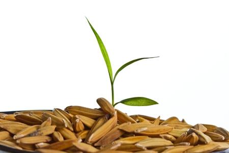 Close up rice seedling  on isolated white