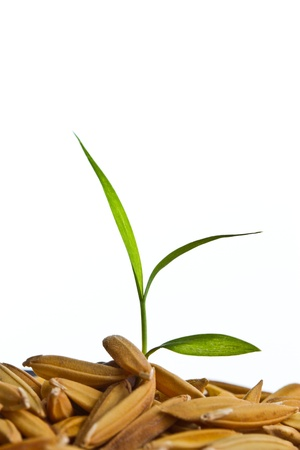 Close up rice seedling  on isolated white photo