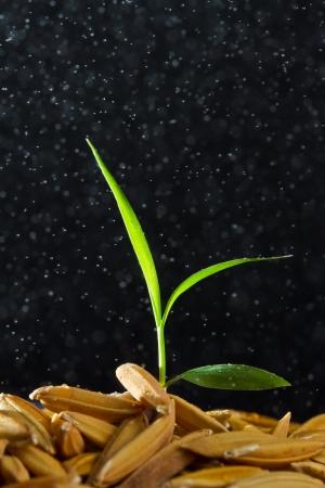 Close up rice seedling in rain drop