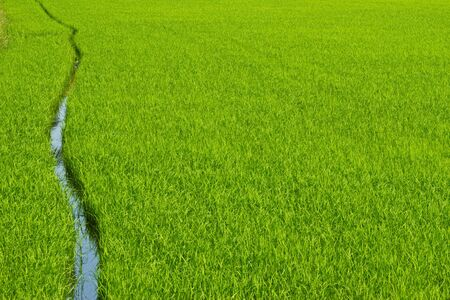 Green rice field Stock Photo - 15756981