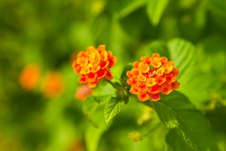 Camara flower or Lantana flower