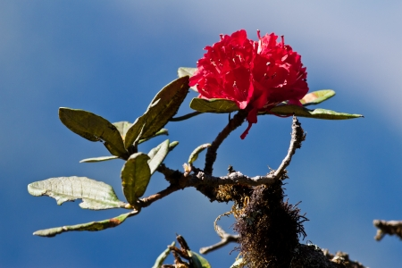 Red Rhododendron on blue sky2