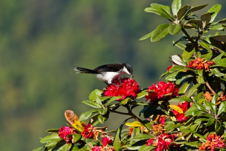 Dark backed sibia on Red Rhododendron tree photo