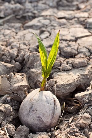 coconut seedlings: Coconut on the dry land