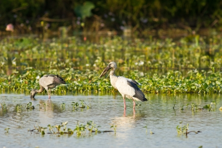 Asian openbill feeding in the pond, Thailand photo