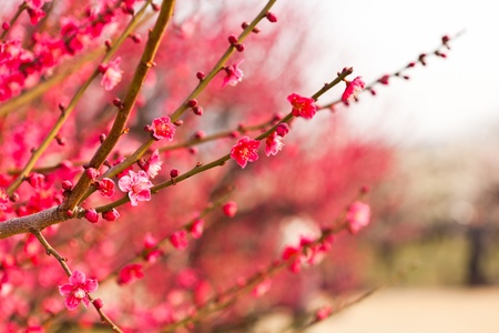 ume: Pink plum blossoms in Japan