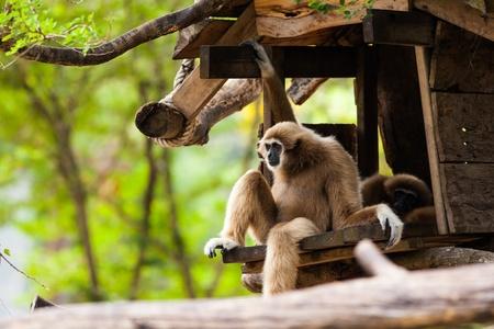hominid: Bianco Cheeked Gibbon o Lar Gibbon