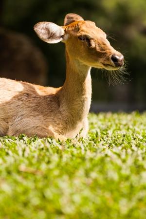 Deer lying on the grass