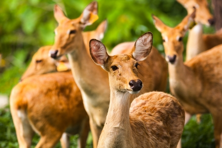 drove: Drove of deer in wildlife Stock Photo