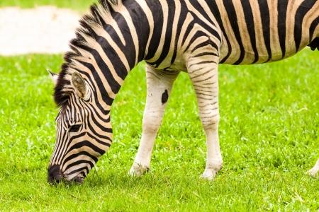 Zebra eating in the grass field