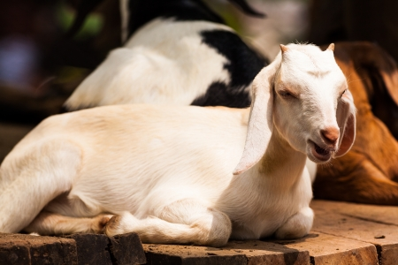 Baby goat in the farm Stock Photo