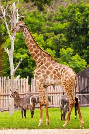 Giraffe standing in the zoo