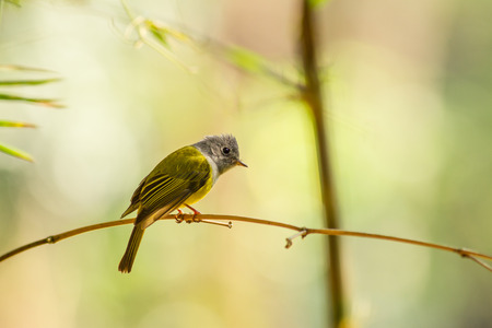 Grey-headed Canary-flycatcher holding on the bamboo branch