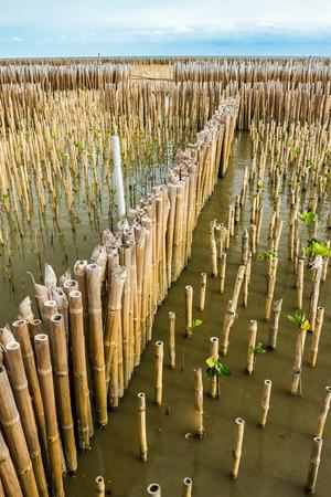 Line of bamboo protector in Mangrove forest, Samutsakorn, Thailand