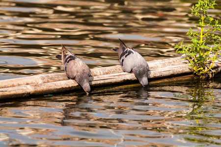 thirsty bird: Couple of pigeons are drinking water in the river