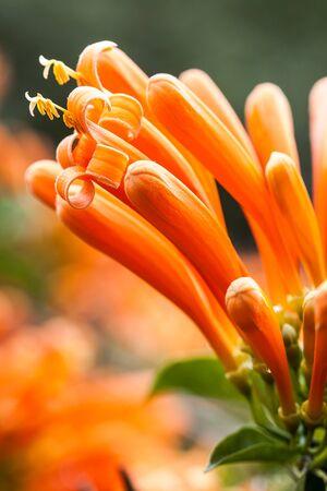 close up the orange flower, orange trumpet