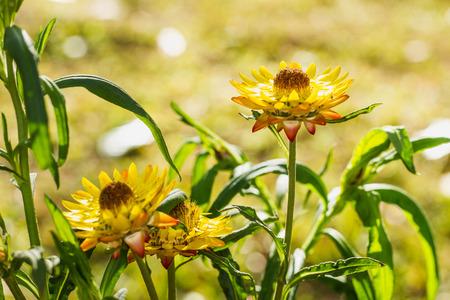 everlasting: Yellow everlasting flower in the garden Stock Photo