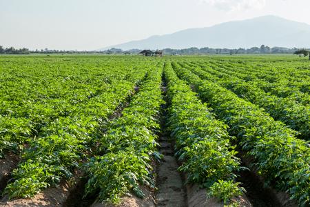patatas: Tierras de cultivo de la patata, Chiang Mai, en el norte de Tailandia Foto de archivo