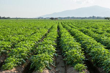 Potato farmland, Chiangmai, Northern of Thailand