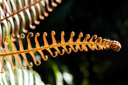 Close up cyathea leaf, a kind of fern