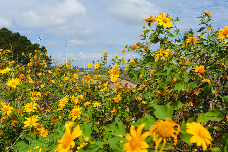 mexican sunflower, blossom on December,  Northern of Thailand