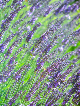 flourishing: Lavender flowers. Garden with the flourishing lavender
