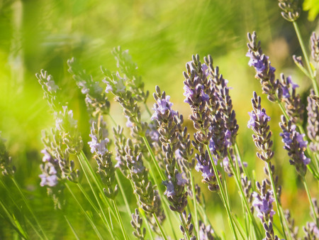 flourishing: Lavender flowers. Garden with the flourishing lavender.