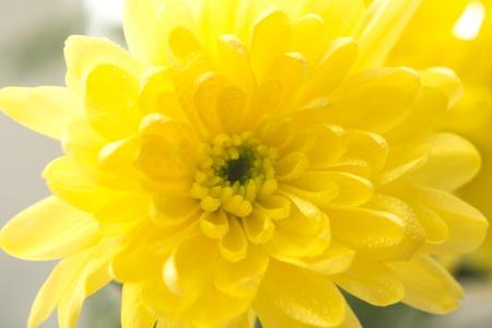 single yellow chrysanthemums close up macro flowers 免版税图像